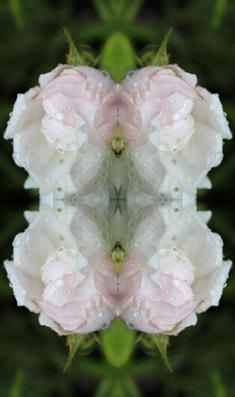 weiß-rosa rose im spiegel 04