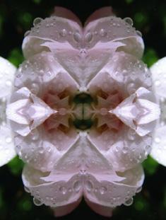 weiße rose im spiegel