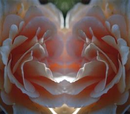 rosa rose im spiegel