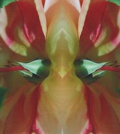 weiß-rote rose im spiegel 11