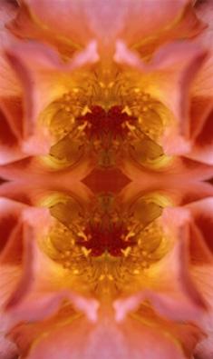 gelborange rose im spiegel 15