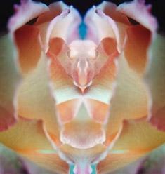 bunte rose im spiegel 17