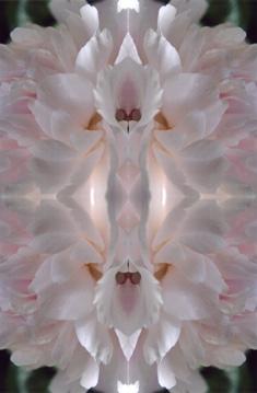 weiße pfingstrose im spiegel 18