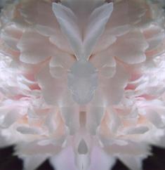 weiße pfingstrose im spiegel 19