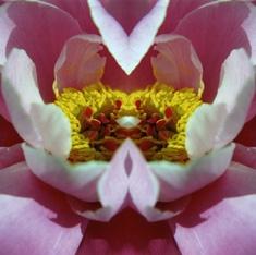 tibetrose im spiegel