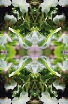 frauenmantel im spiegel 21