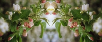 obstblüte im spiegel